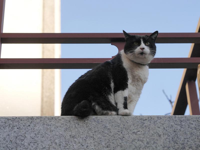 高みから見ている黒白猫1