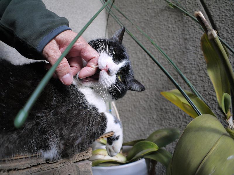 ベンチで手を噛む黒白猫3