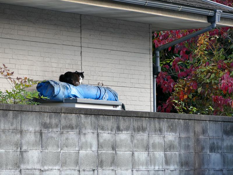 ブロック塀とブルーシートと黒白猫1