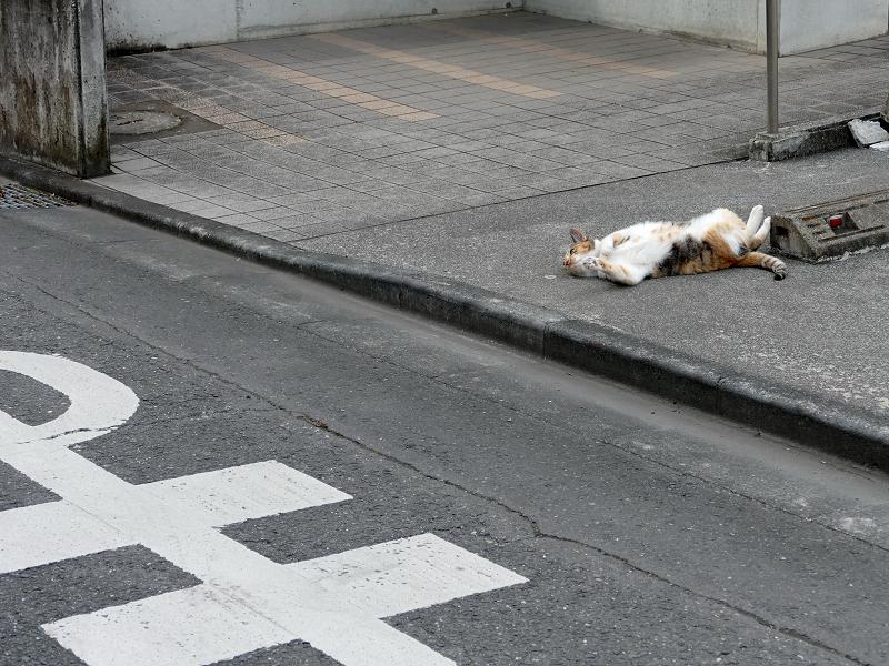 駐車スペースで転がってた毛長の三毛猫1