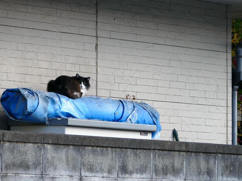 ブロック塀とブルーシートと黒白猫2