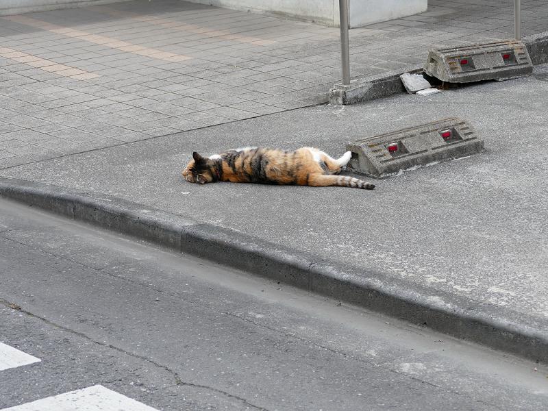 駐車スペースで転がってた毛長の三毛猫2