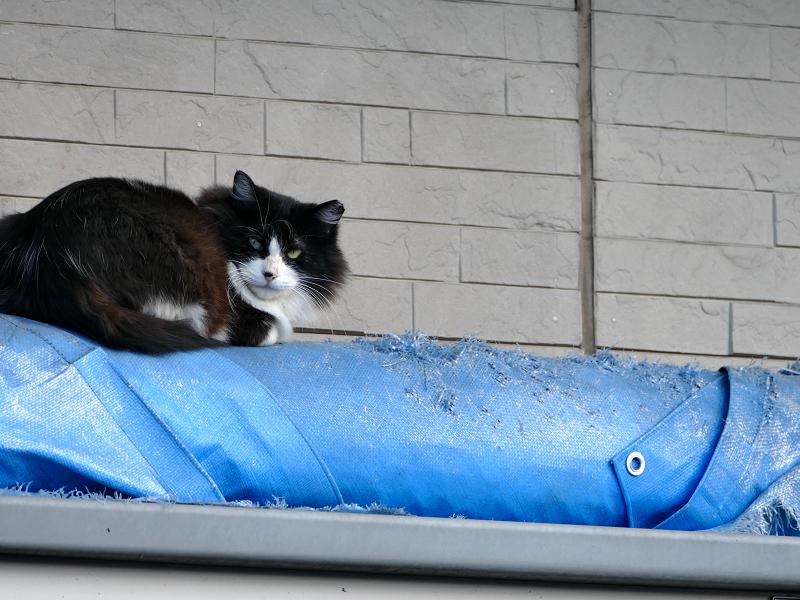 ブロック塀とブルーシートと黒白猫3