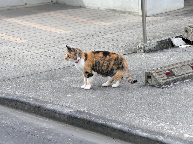 駐車スペースで転がってた毛長の三毛猫3