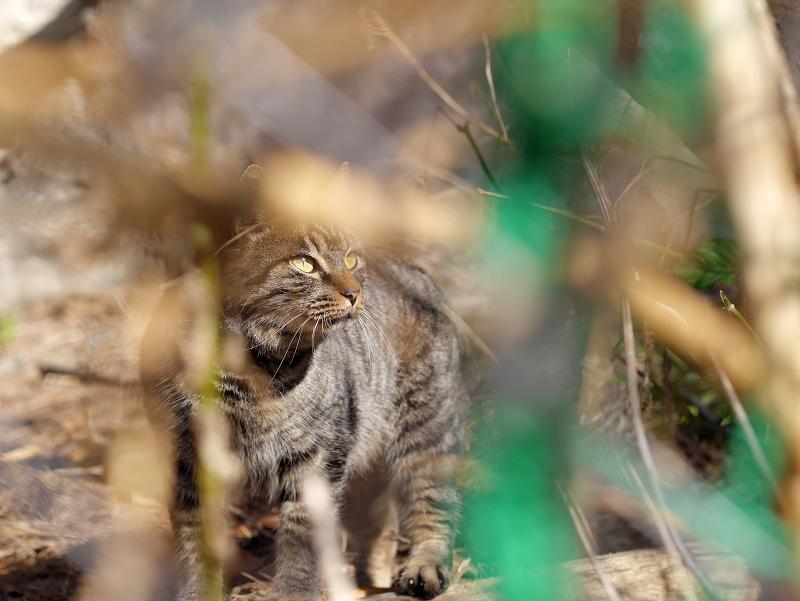 草むら越しのキジトラ猫1