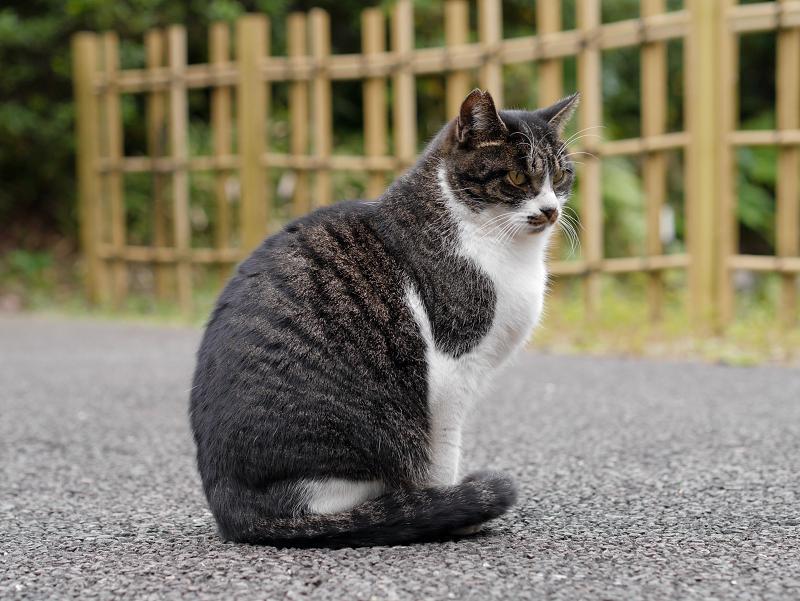 神社神域のキジ白猫2