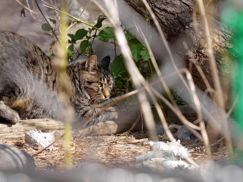 草むら越しのキジトラ猫2