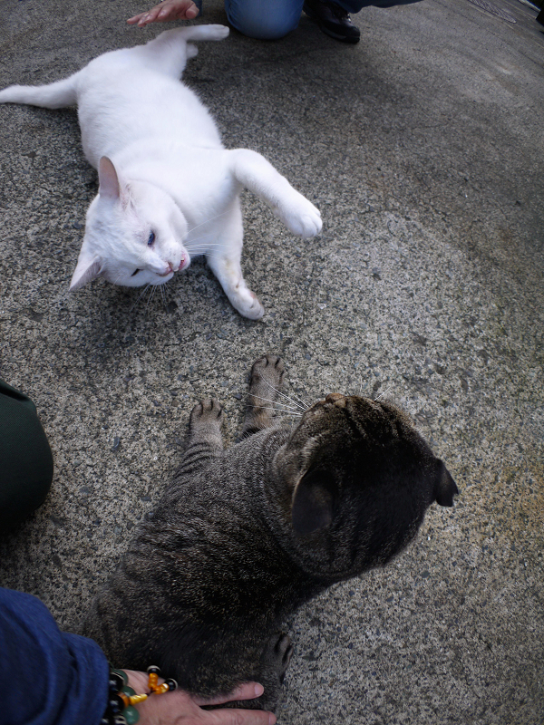 仲良し風なキジトラと白猫3