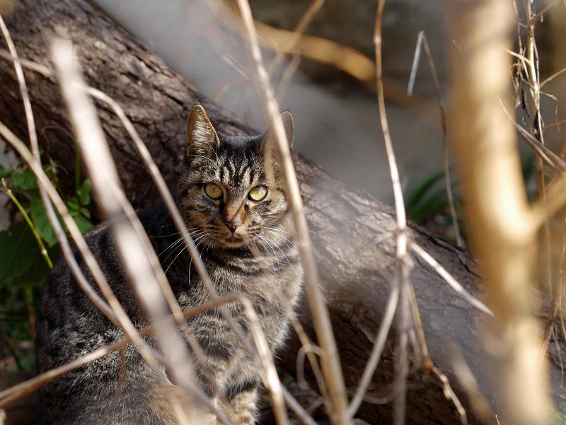 草むら越しのキジトラ猫3