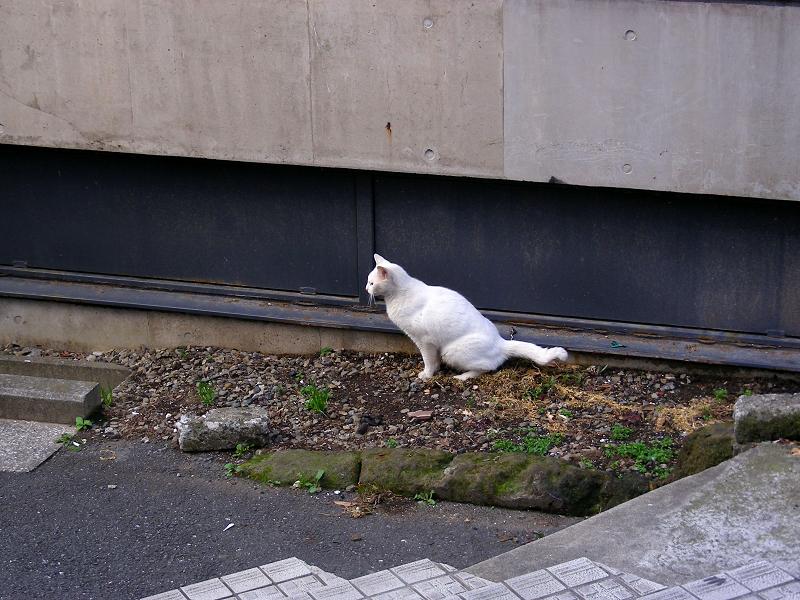 白猫の行動1