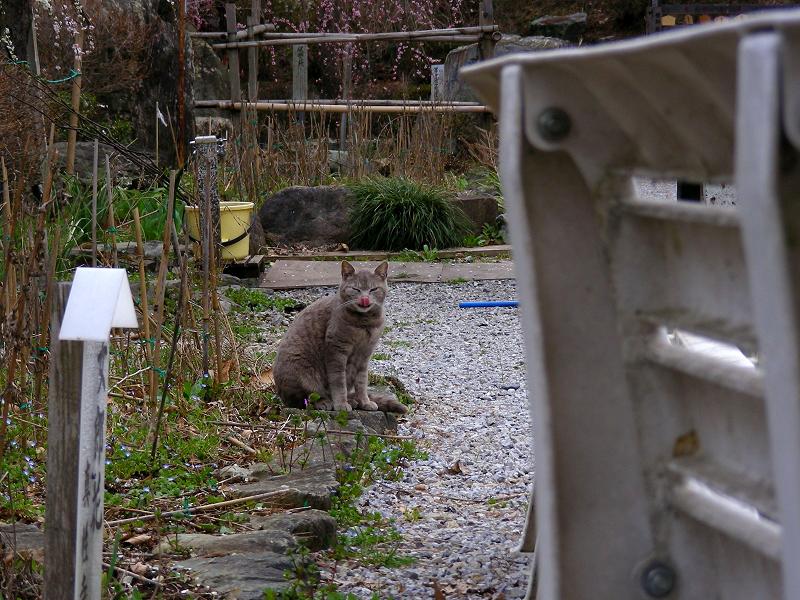 踏み石のグレー猫1