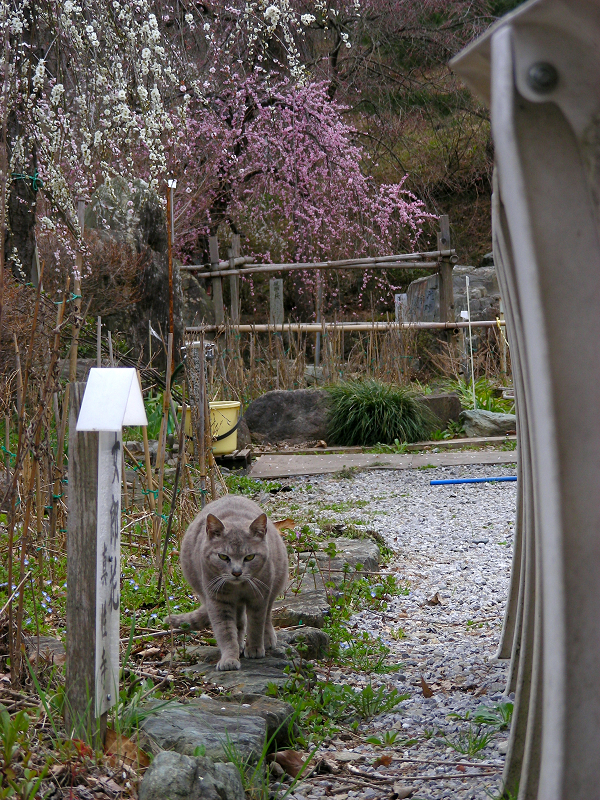 踏み石のグレー猫2