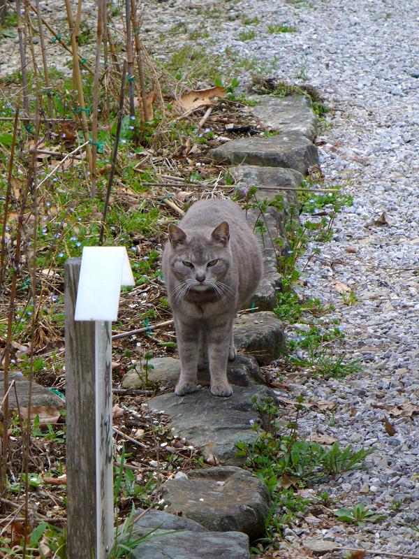踏み石のグレー猫3