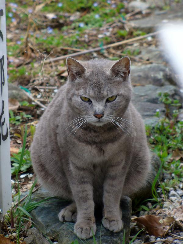 踏み石のグレー猫4