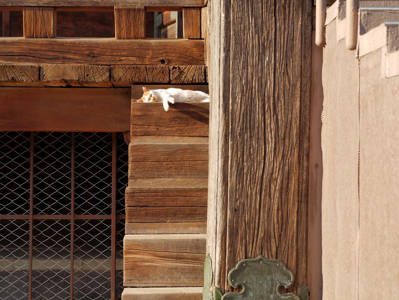 階段の端っこで寝てる白茶猫1