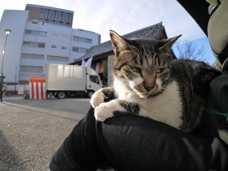 膝で落ち着くキジ白猫2