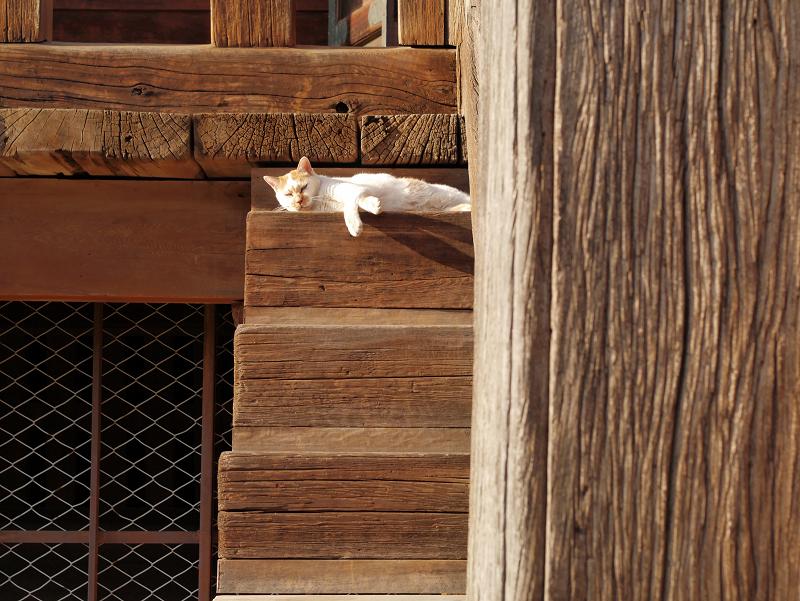 階段の端っこで寝てる白茶猫2