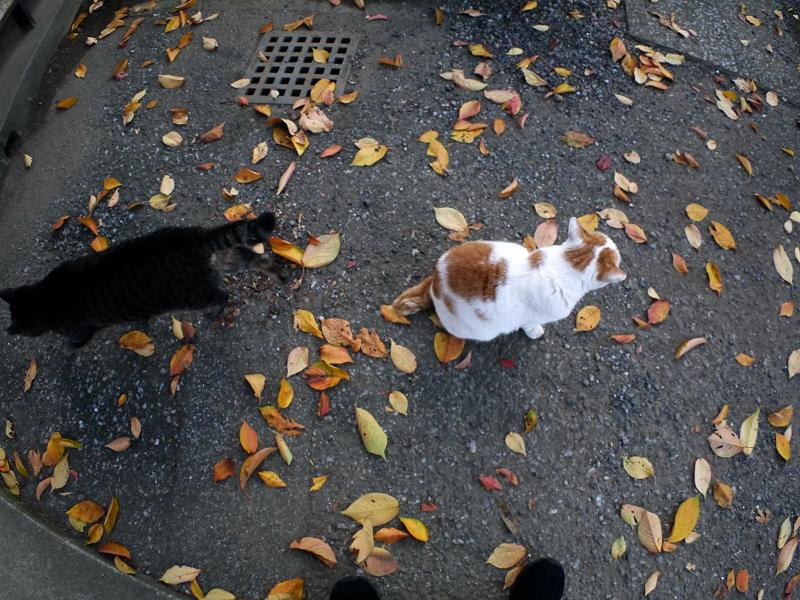 秋色櫻葉と白茶猫3