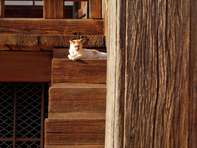 階段の端っこで寝てる白茶猫3
