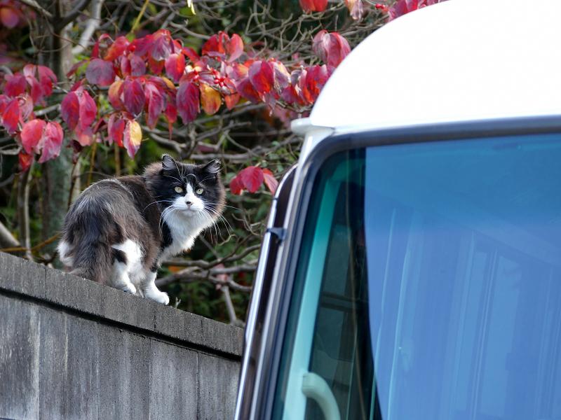 赤い葉っぱと黒白猫1
