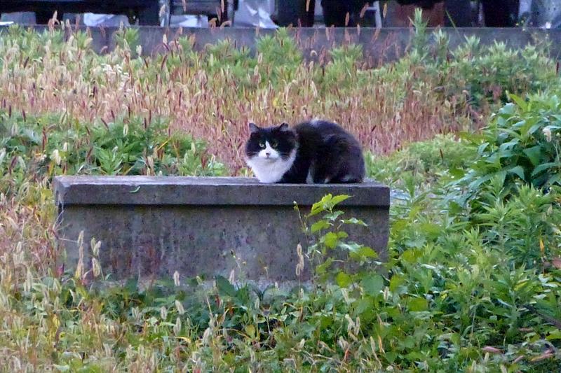 夕暮れの黒白猫