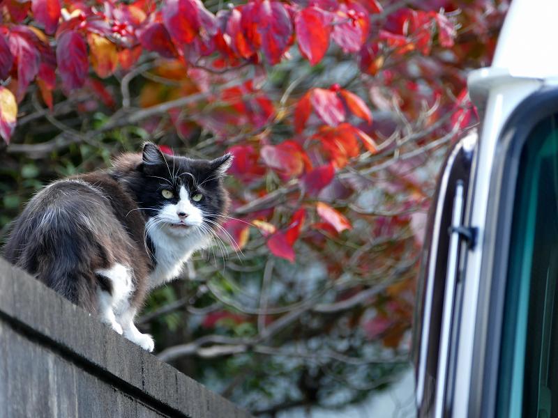赤い葉っぱと黒白猫2