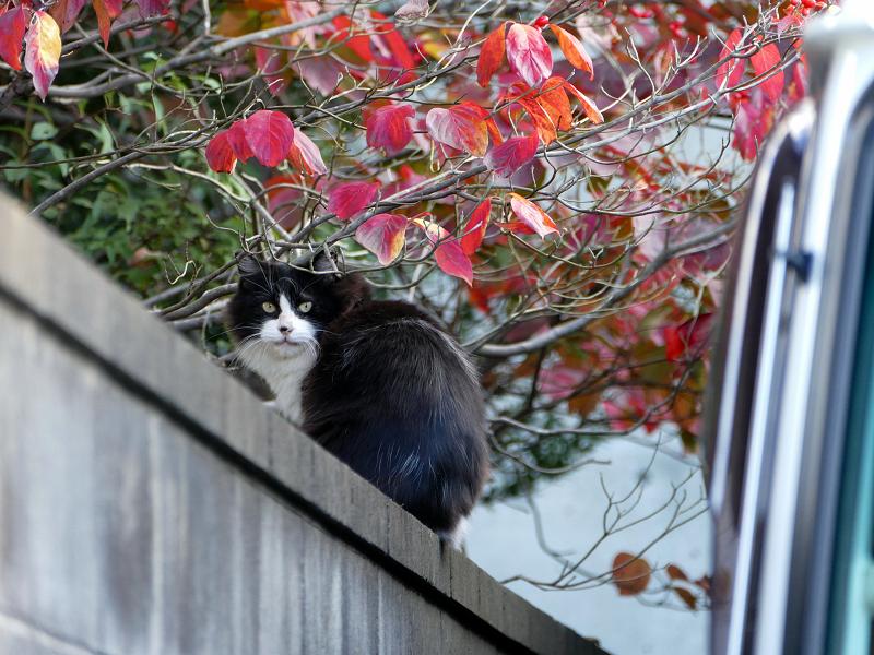 赤い葉っぱと黒白猫3