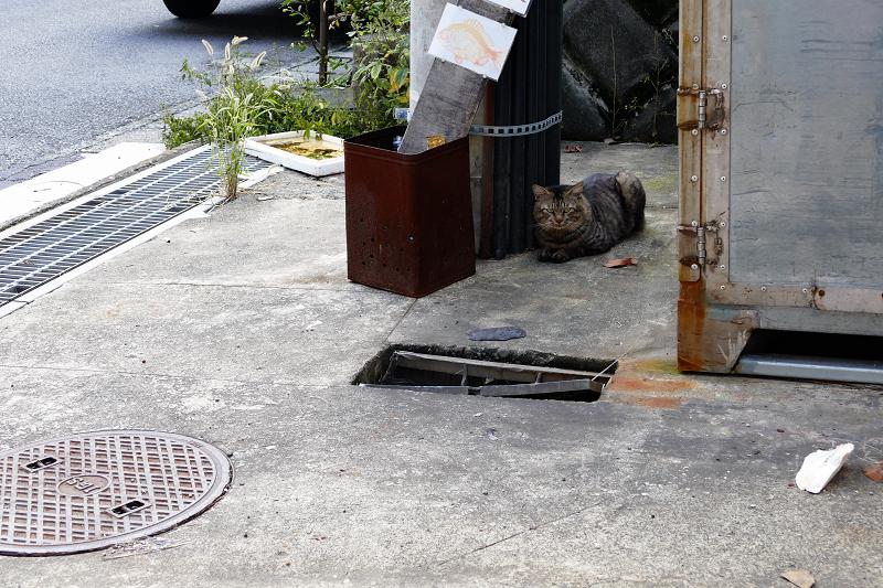 天誅の横のキジトラ猫1