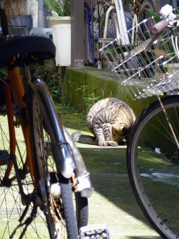 前屈毛づくろいのキジトラ猫1