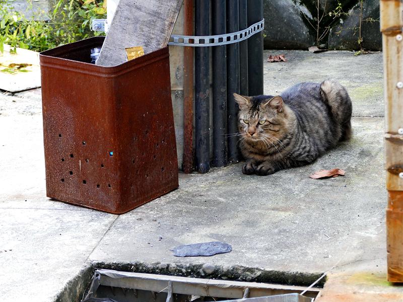 天誅の横のキジトラ猫2