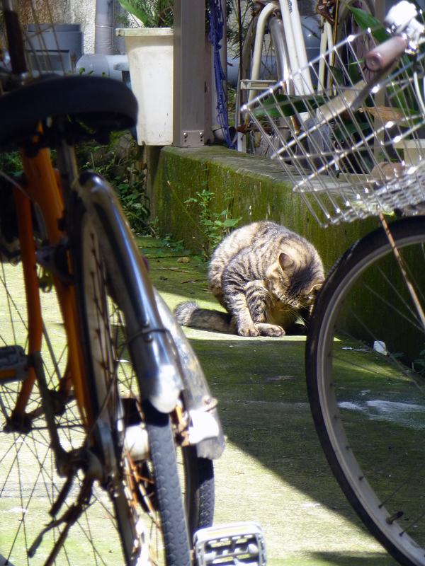 前屈毛づくろいのキジトラ猫2