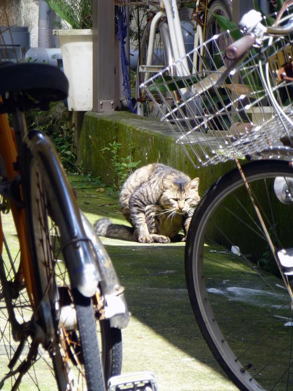 前屈毛づくろいのキジトラ猫3