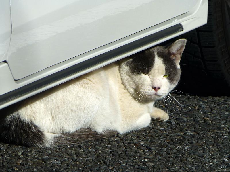 車の下の白グレー猫3