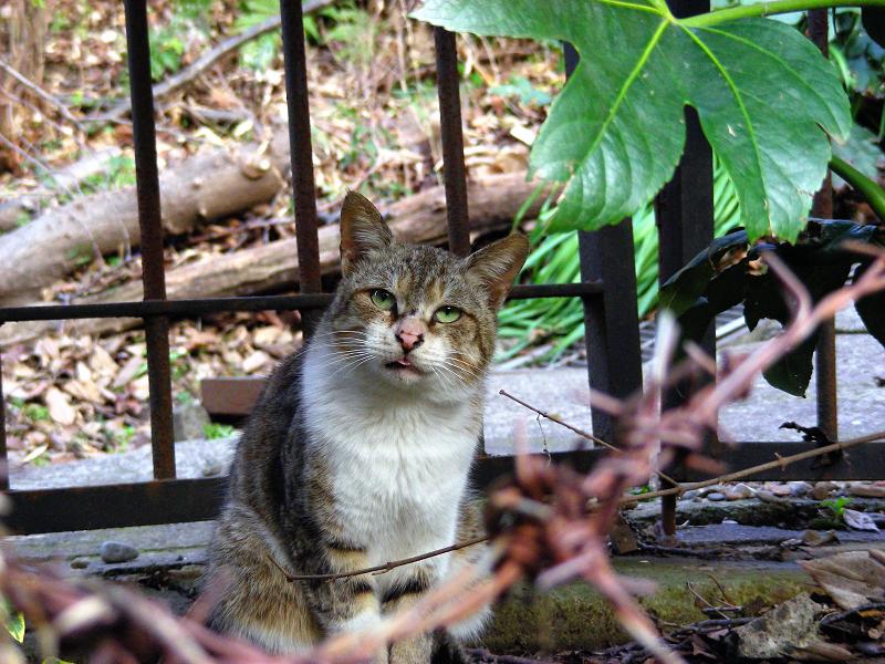 緑の瞳のキジ白猫1