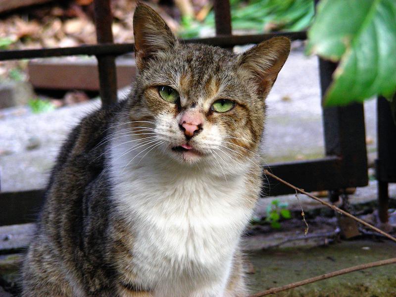 緑の瞳のキジ白猫2