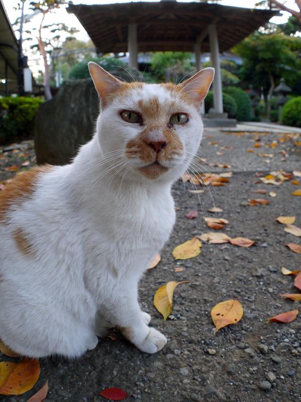 表情が変わる白茶猫1