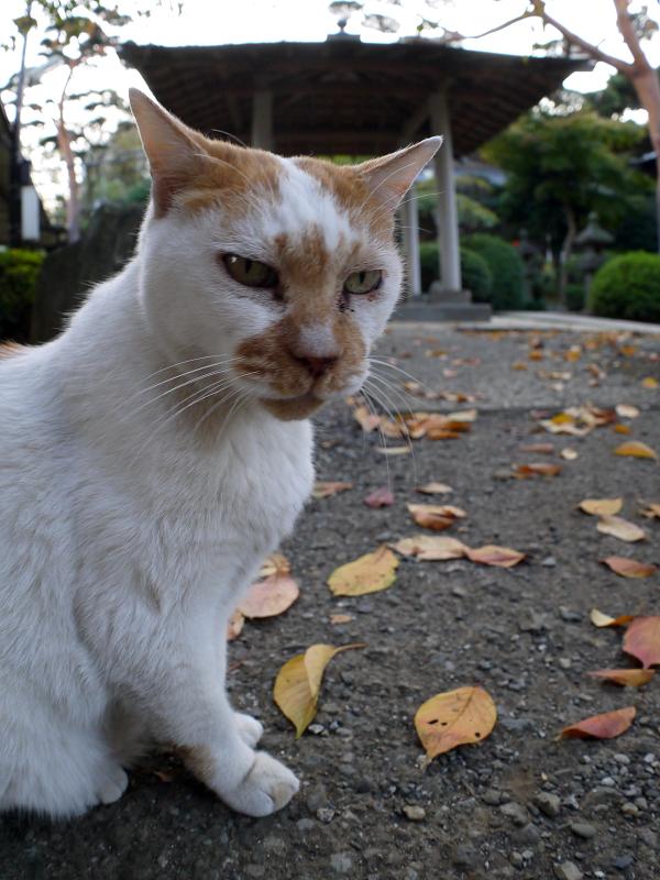 表情が変わる白茶猫2
