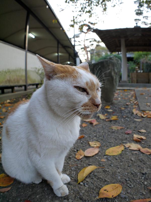 表情が変わる白茶猫3