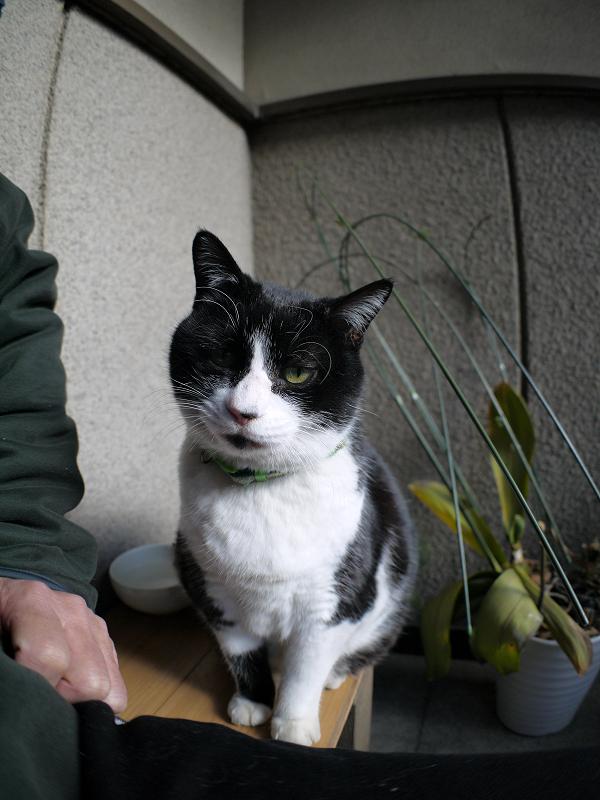 意地を張ってる風な黒白猫2