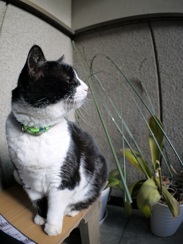 意地を張ってる風な黒白猫3