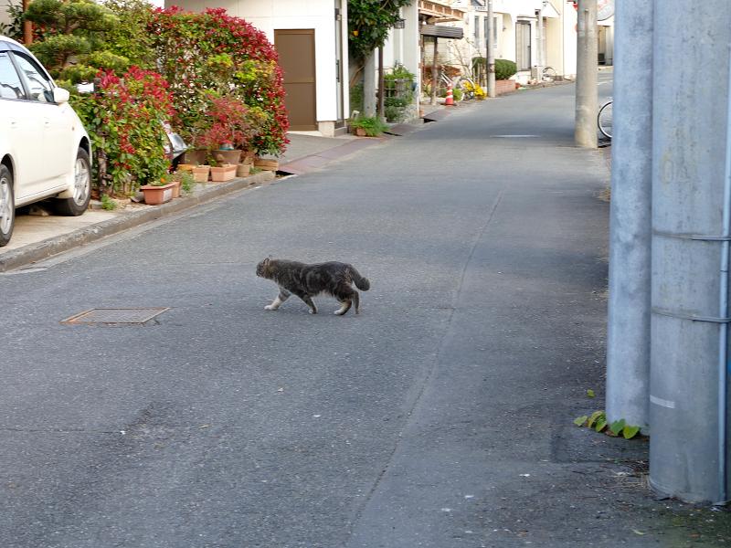 道を歩き渡るアメショー柄の猫1