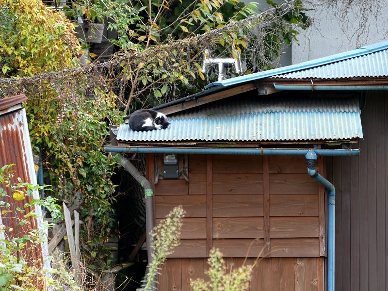 青いトタン屋根で寝てる黒白猫1