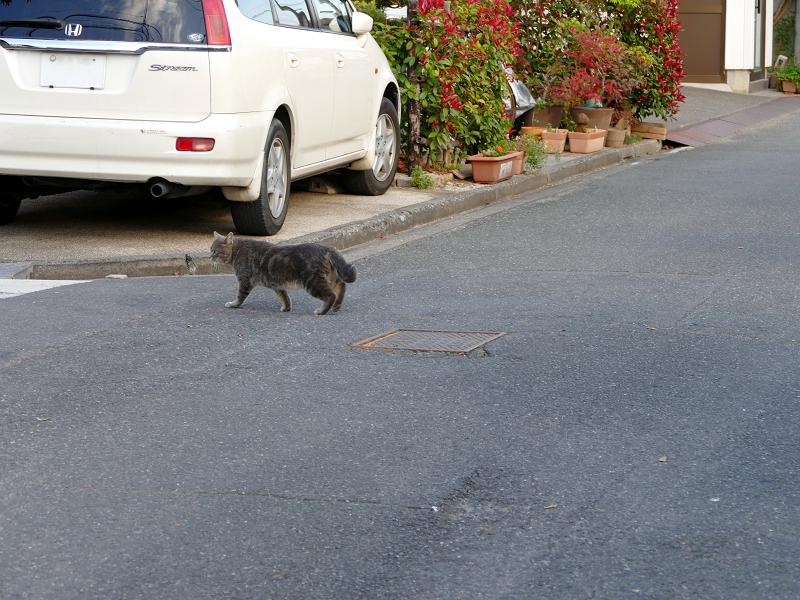 道を歩き渡るアメショー柄の猫2