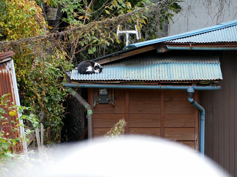青いトタン屋根で寝てる黒白猫