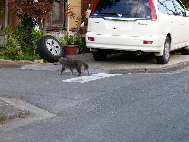 道を歩き渡るアメショー柄の猫3