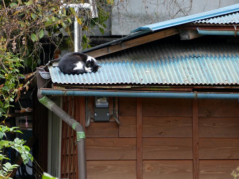 青いトタン屋根で寝てる黒白猫3