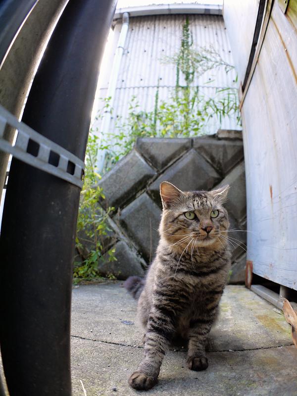 電柱の横に座ってるキジトラ猫1