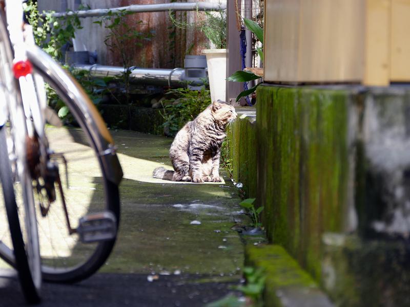 日向にいたキリリ顔のキジトラ猫1