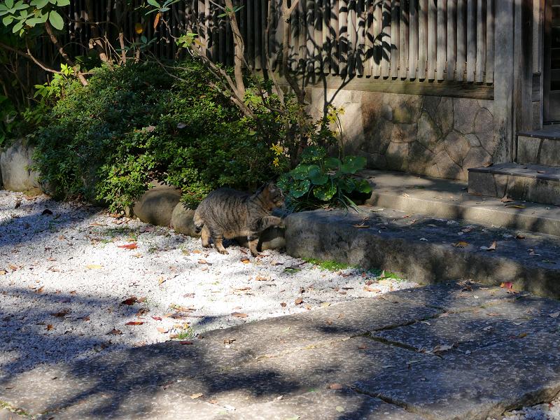 境内を急いで歩くキジトラ猫1