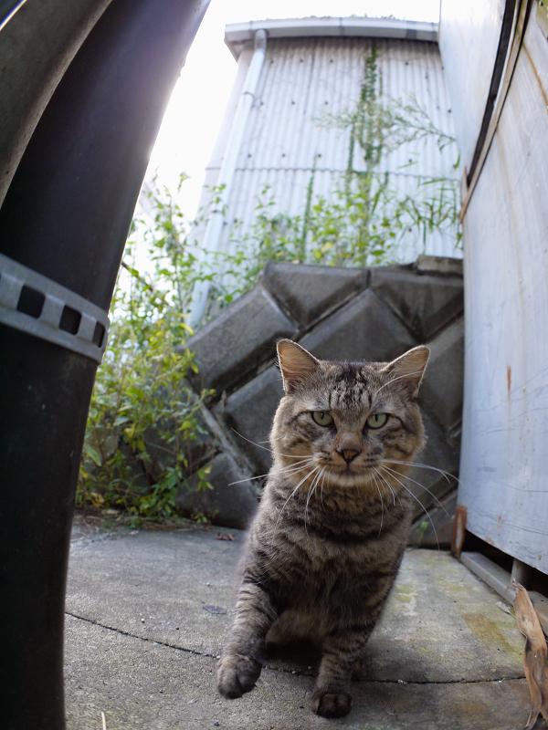 電柱の横に座ってるキジトラ猫2
